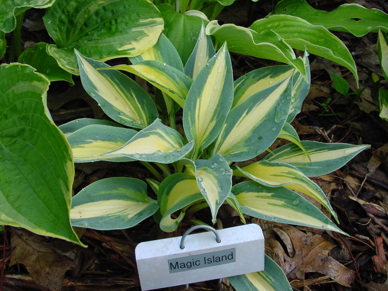 Хоста Магик Исланд-Hosta Magic Island